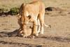 Mother_Lion_Transporting_Cubs_Asilia_0022