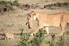 Mother_Lion_Transporting_Cubs_Asilia_0063