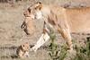 Mother_Lion_Transporting_Cubs_Asilia_0066