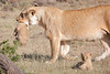Mother_Lion_Transporting_Cubs_Asilia_0071