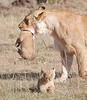 Mother_Lion_Transporting_Cubs_Asilia_0068