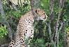 Cheetah Mara Topi House