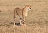 Cheetah Morning Hunt