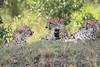 Cheetah_Mara_Asilia_Kenya0065