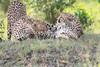 Cheetah_Mara_Asilia_Kenya0074