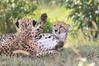 Cheetah_Mara_Asilia_Kenya0080