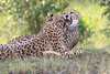 Cheetah_Mara_Asilia_Kenya0078
