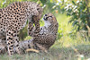 Cheetah_Mara_Asilia_Kenya0076
