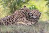 Cheetah_Mara_Asilia_Kenya0079