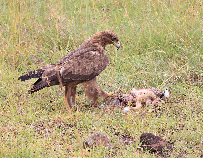 Cheetah Cub Mom Mara Tawny Eagle