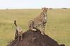 Cheetah Cub Mom Mara