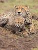 Cheetah Cub Mom Mara Grooming
