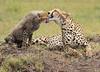 Mother Cheetah and Cub in the Masaai Mara Park