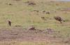 Cheetah Cub Mom Mara Jackal