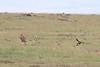 Cheetah Cub Mom Mara Hunt