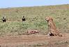 Cheetah with Kill Mara and Vultures