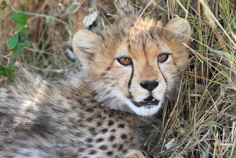 Cheetah Cub Mara