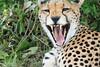 Mara Cheetah0530