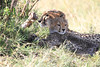 Cheetah Mara