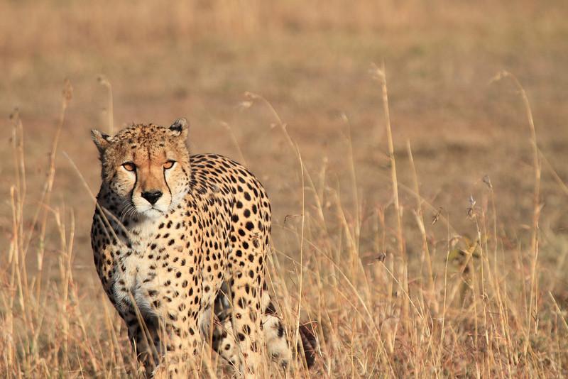 Cheetah Male Mara