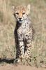 Cheetah Family Mara Cub