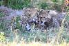 Cheetah Cubs Mara