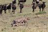 Cheetah Cubs Herded by Wildebeest