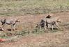 Mara Cheetah0581