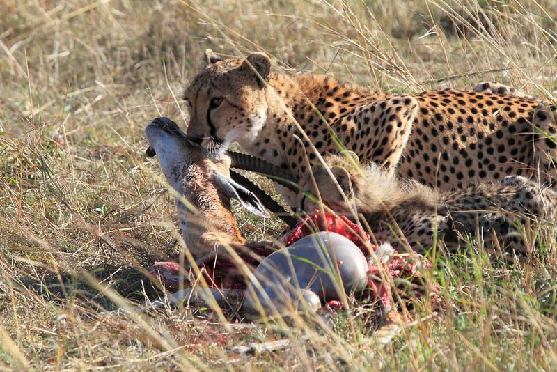 Cheetah with Kill Mara
