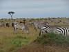 Grazing Zebra Mara Topi House