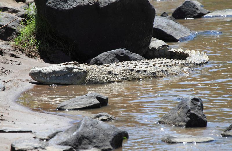 Nile Crocodile Mara