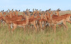 Impala Females Topi House Mara