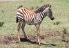 Baby Zebra Mara Topi House