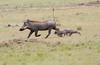 Warthog Family running Mara Topi House
