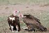 Hooded Vulture_Mara_TopiHouse (6)