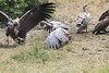Lappet Faced and Ruppell's Griffon Vulture face off Mara Topi House
