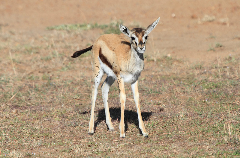 Thompson's Gazelle Baby Mara Topi House