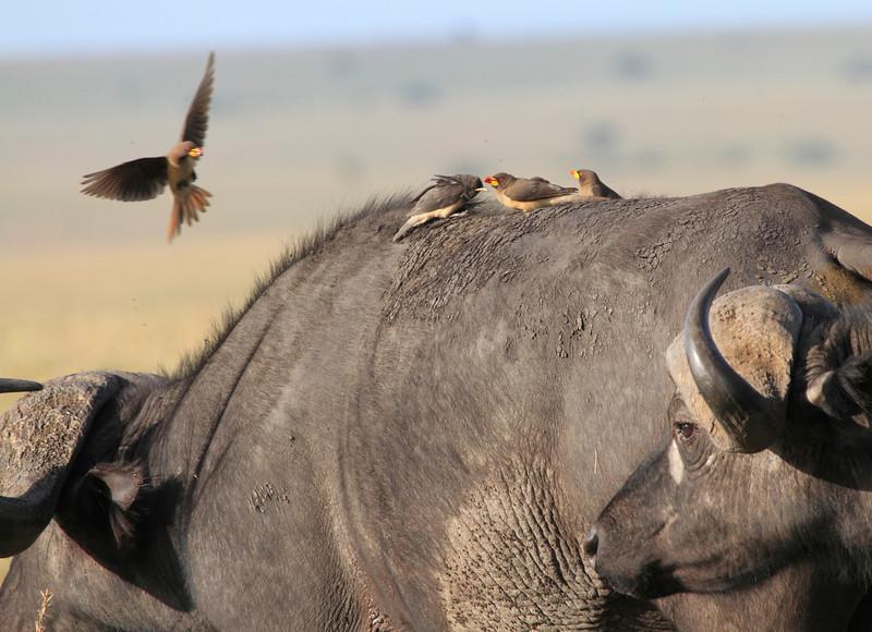 Cape Buffalo Mara Topi House Oxpecker