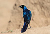 Ruppell's Long-tailed Starling Topi House Mara