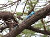 Blue Headed Agama Lizard Topi House Mara