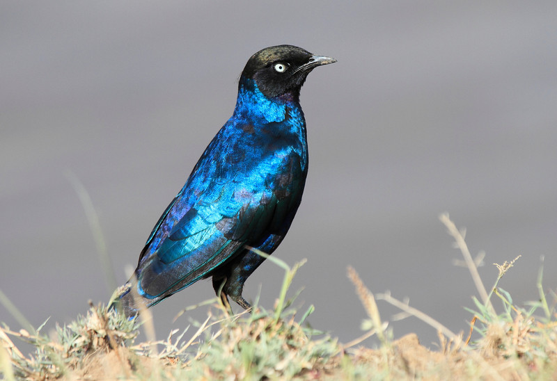 Ruppell's Long-tailed Starling Mara Topi House