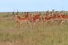 Impala Harem Topi House Mara