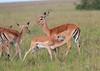 Impala Breakfast Topi House Mara