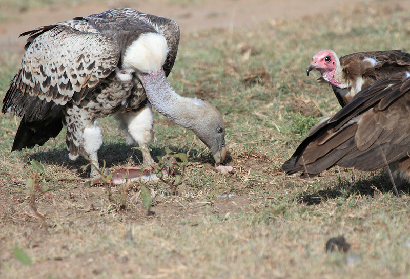 Ruppell's Griffon Vulture and Hooded Topi House Mara