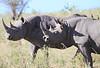 Black Rhino Mara Rekero Oxpeckers