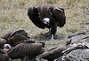 Lappet-faced Vulture Topi House Mara