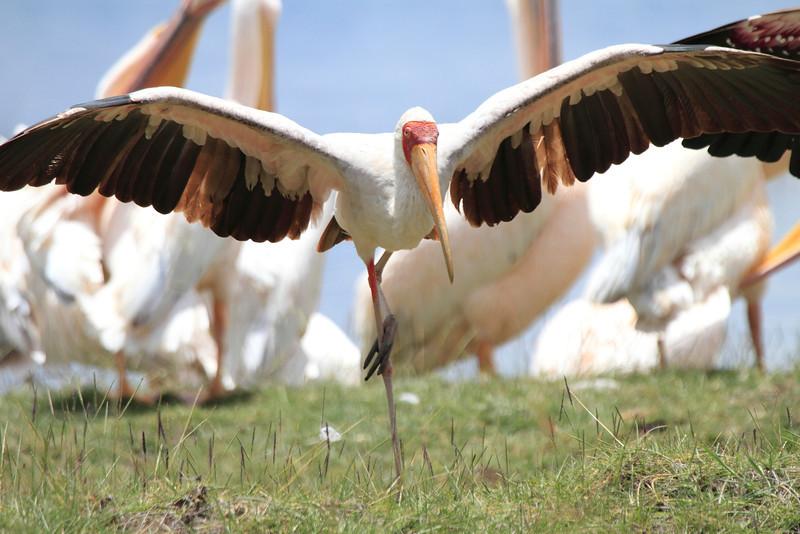 Yellow-billed Stork Kenya Lake Naivasha