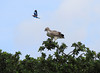 Immature Martial Eagle being buzzed by Lilac Breasted Roller