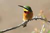 Little Bee-eater Mara Topi House
