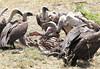 Mixed Vultures at Kill Mara Topi House